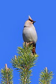 Bombycilla garrulus. The Waxwing in the summer, sitting on the top of the pine in Siberia