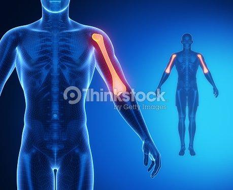 Humerus Bone Anatomy Xray Scan Stock Photo Thinkstock