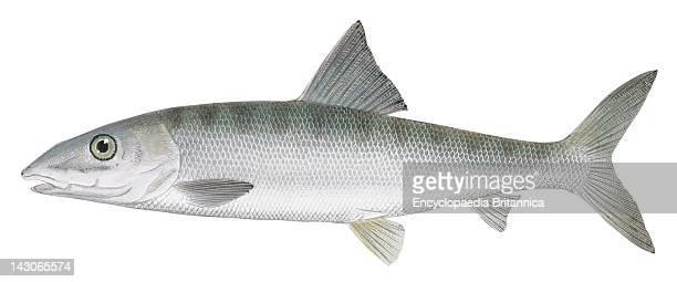 Bonefish Bonefish