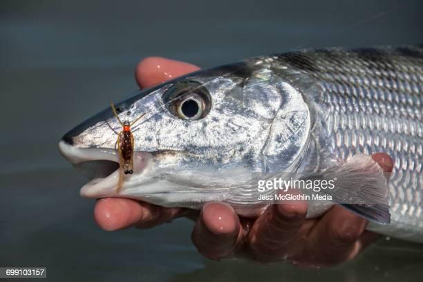 Bonefish in hand, Cayo Cruz, Cuba.