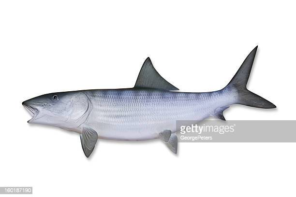 Bonefish with Clipping Path