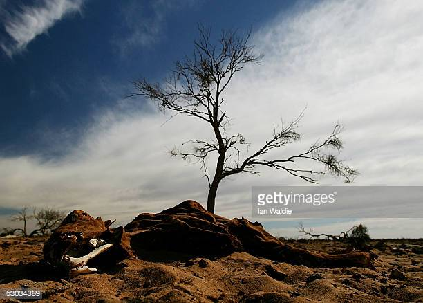 Bones from dead livestock lie in the sand at Wilpoorinna sheep and cattle station June 7 2005 in Leigh Creek Australia Australia is enduring its...
