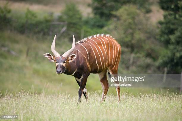 Bongo antelope on a green field at nature scene