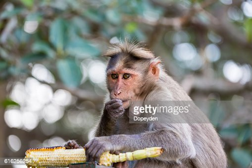 Bonnet Macaque, part of the Banyan Tree Troop Bangalore India. : Stock Photo