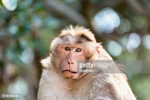 Macaco-de-Touca Secadora, parte do Baniano tropas Bangalore da Índia. : Foto de stock