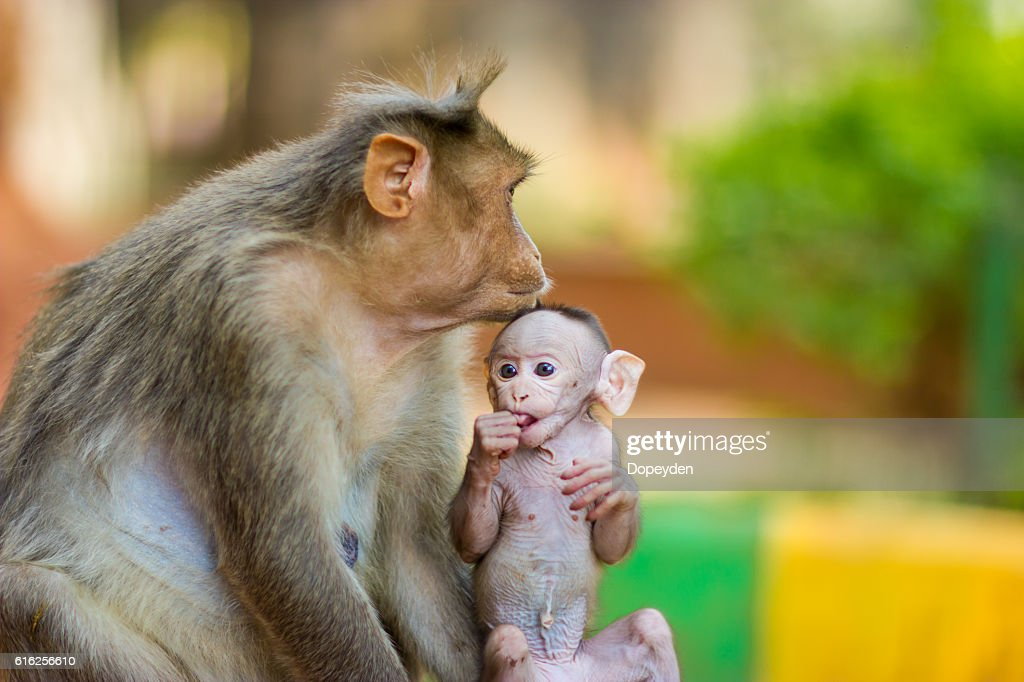 Macaco Bonnet, parte de las tropas Banyan Tree situado Bangalore India. : Foto de stock