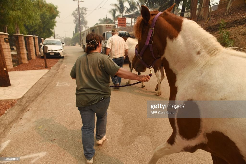 Bonnie Murphy is able to evacuate her horses with the help of good samaritan neighbor Bill Ray Orme (background) who was offering his horse transport to help neighbors evacuate lifestock as the La Tuna Fire covers the Shadow Hills neighborhood of Los Angeles, California in thick smoke, September 2, 2017. The La Tuna fire exploded to 8,000 acres on September 2, 2017, prompting mandatory evacuations and destorying three structures. It is the largest blaze by acreage in Los Angeles city history. / AFP PHOTO / Robyn Beck