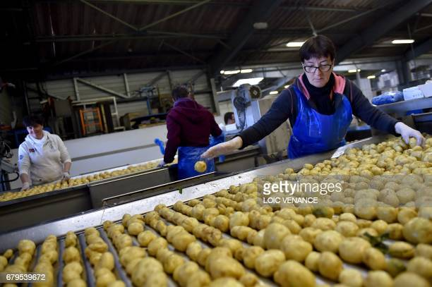 'Bonnotte' potatoes are sorted after being picked from a field in Noirmoutierenl'île on the island of Noirmoutier off the coast of Brittany western...