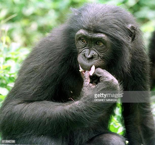 Bonobo 21 May 2000 at the Bonobo sanctuary of Kinshasa The bonobo also known as the pygmy chimpanzee is a rare species threatened with extinction by...