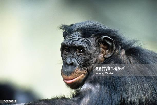 Bonobo, Chimpanzee (Pan paniscus), Africa