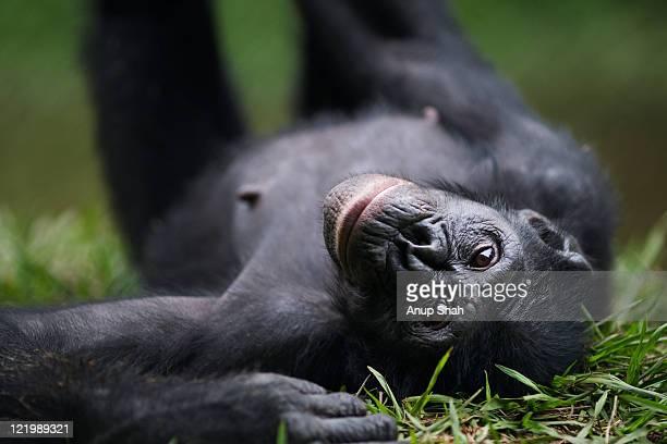 Bonobo female lying on her back - portrait