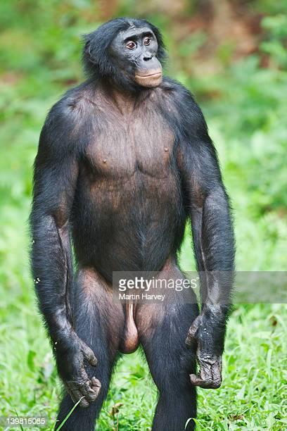 Bonobo (Pan paniscus). Frequently stand or walk in the bipedal position. Sanctuary Lola Ya Bonobo Chimpanzee, Democratic Republic of the Congo