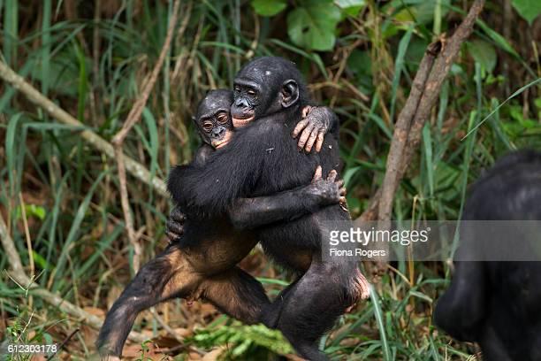 Bonobo juveniles hugging each other