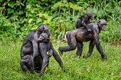 Bonobo mating in natural habitat. Natural green background. The Bonobo ( Pan paniscus), Democratic Republic of Congo. Africa