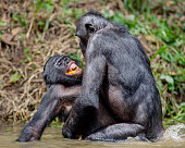 Bonobo mating in the pond. The Bonobo ( Pan paniscus), Democratic Republic of Congo. Africa