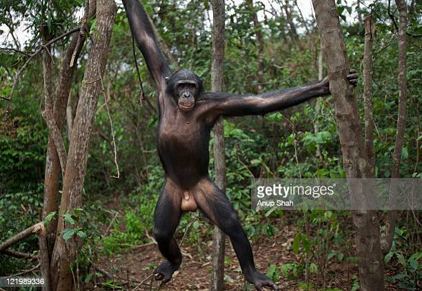 Bonobo mature male 'Api' swinging