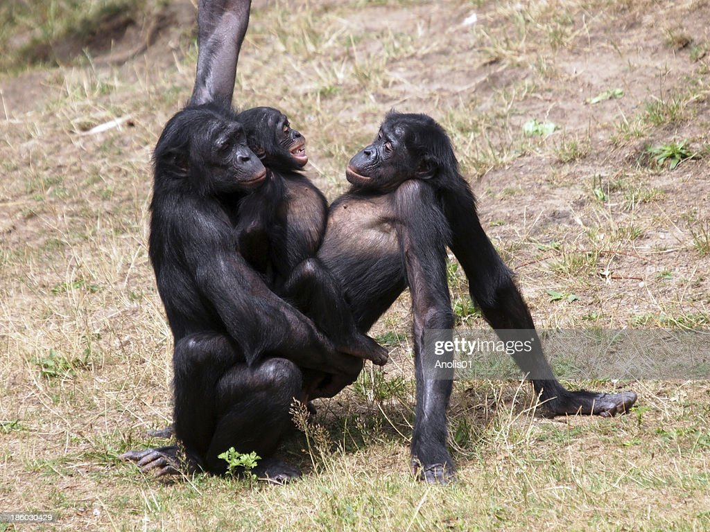 Дикий секс бонобо