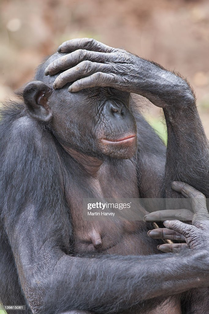 Bonobo (Pan paniscus) Sanctuary Lola Ya Bonobo Chimpanzee, Democratic Republic of the Congo : Stock Photo