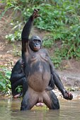 Natural habitat. Not Zoo.  Bonobo standing on her legs with a cub on a back and hand up. The Bonobo ( Pan paniscus). Democratic Republic of Congo. Africa