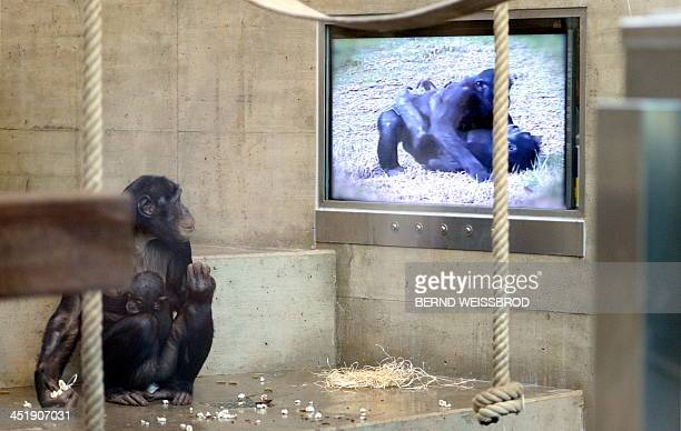 A bonobo with a baby watches a film displayed on a screen in the chimpanzee's enclosure at the Wilhelma zoo in Stuttgart southern Germany on November...