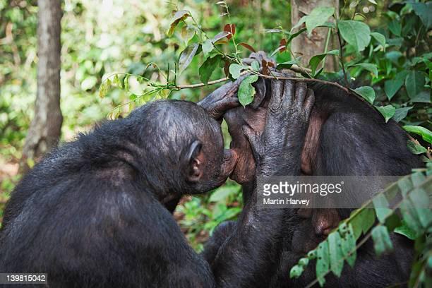 Bonobos (Pan paniscus) grooming each other. Sanctuary Lola Ya Bonobo Chimpanzee, Democratic Republic of the Congo