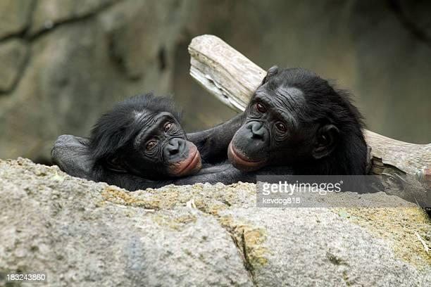 Bonobos (poisson Chimp