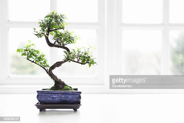 Bonsai Chinese Sweet Plum Sageretia theezans