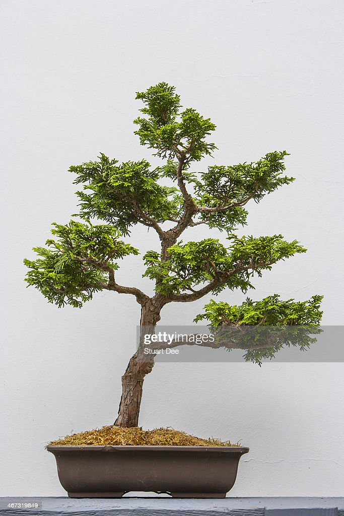 bonsai cypress tree stock photo getty images. Black Bedroom Furniture Sets. Home Design Ideas