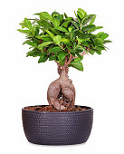 Little ginseng bonsai as potted plant, isolated.