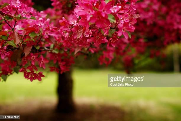 Bonsai looking flowering crab tree