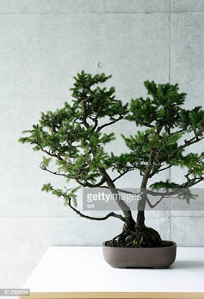 A bonsai on the desk.