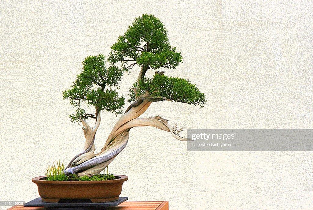 Bonsai : Stock Photo