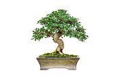 Close up shot bonsai on isolate white background