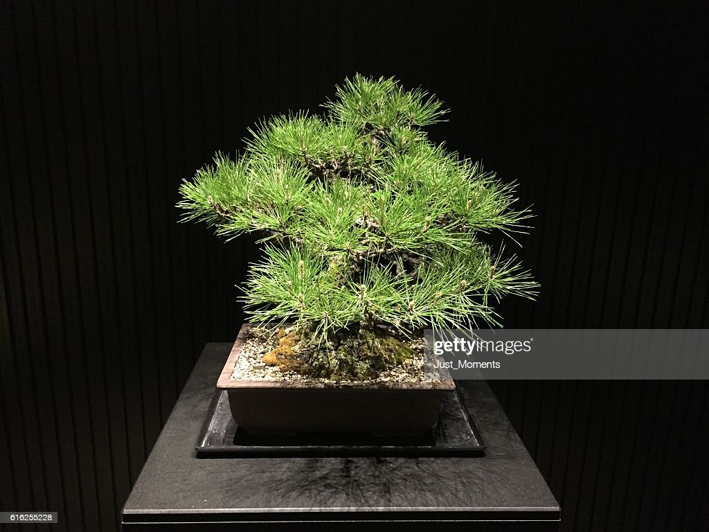 Bonsai : Foto de stock