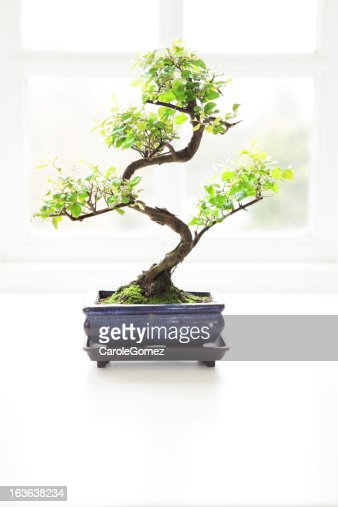 Bonsai Tree and Window