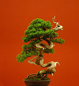 bonsai tree close-up with red background