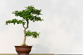 Bonsai tree in a pot against a white wall, China