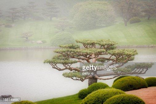 Bonsai Tree in Japanese Garden
