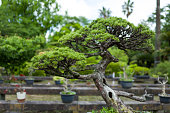 Bonsai Tree in Kumamoto, Japan