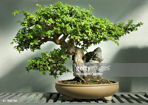 Bonsai tree in pot HDR