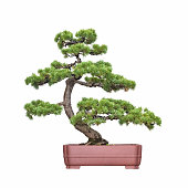bonsai tree of pine with a white background
