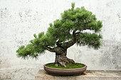 bonsai tree pine