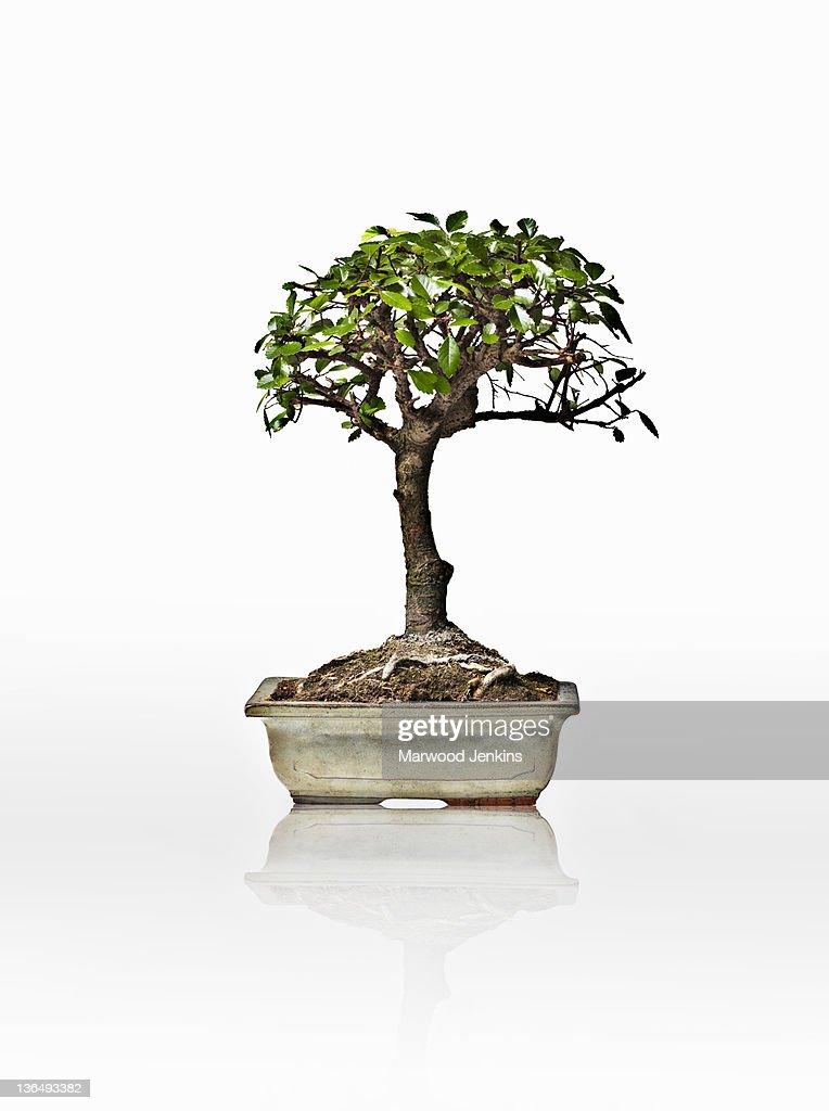 Bonsai tree on white background : Stock Photo