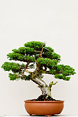 Single beautiful bonsai tree in a pot with white background