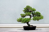 Bonsai Tree on a wooden shelf with extra copy space for your design.