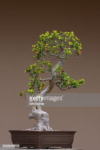 bonsai tree : Stock Photo