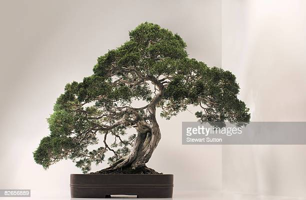 Bonzai Tree bonsai tree stock photos and pictures | getty images
