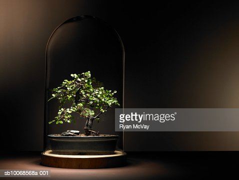 Bonsai tree under glass dome
