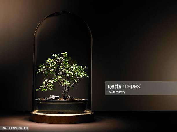 Bonsai tree under glass dome