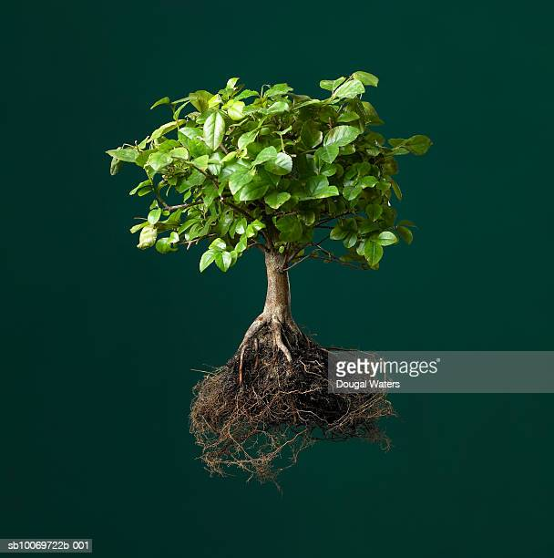 Bonsai tree with exposed roots, studio shot